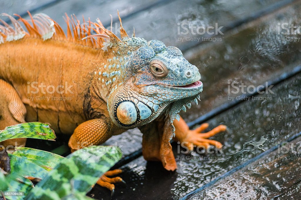 chameleon is walking from left to right stock photo