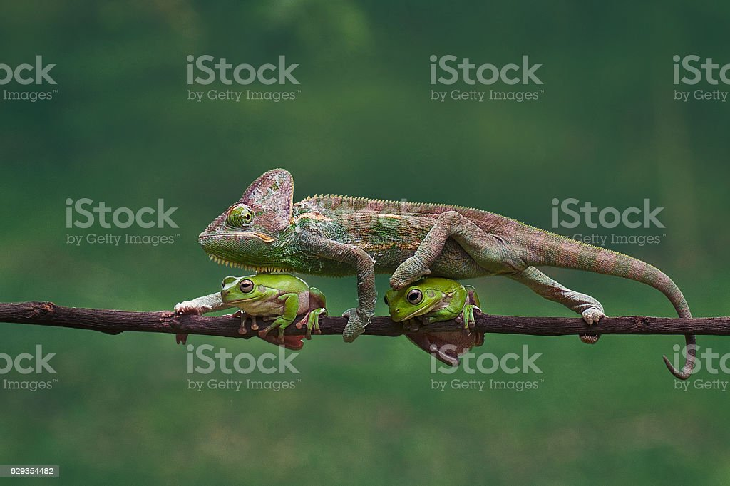 chameleon is walking through the two frogs stock photo