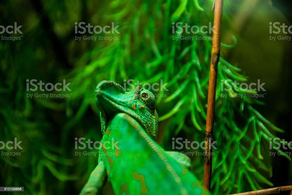 Chameleon looking around stock photo