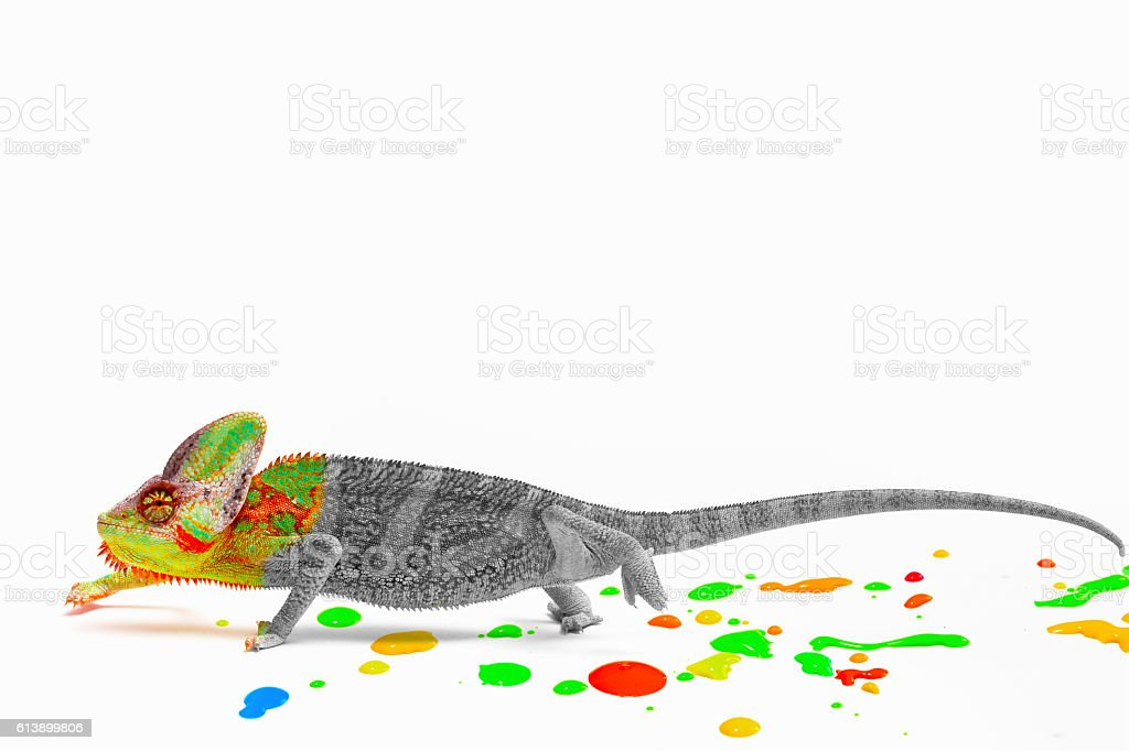 Chameleon loosing his colors stock photo