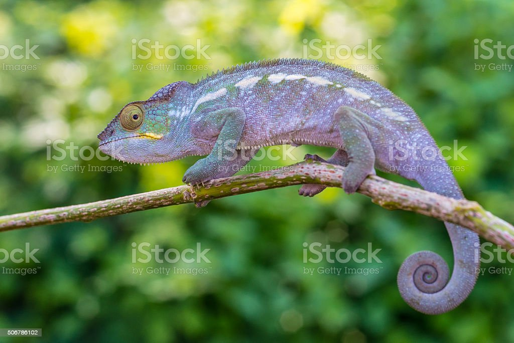 Chameleon on a branch stock photo
