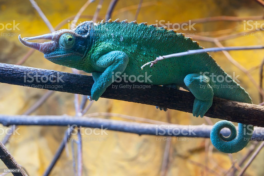 Chameleon on the branch stock photo