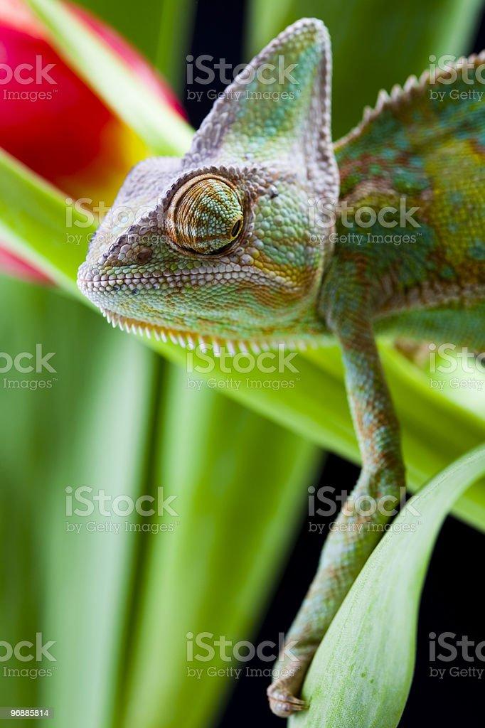 Chameleon on the leaf royalty-free stock photo