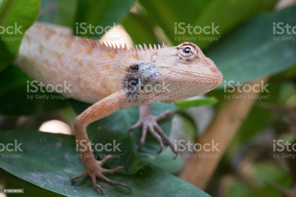 Chameleon on the tree stock photo