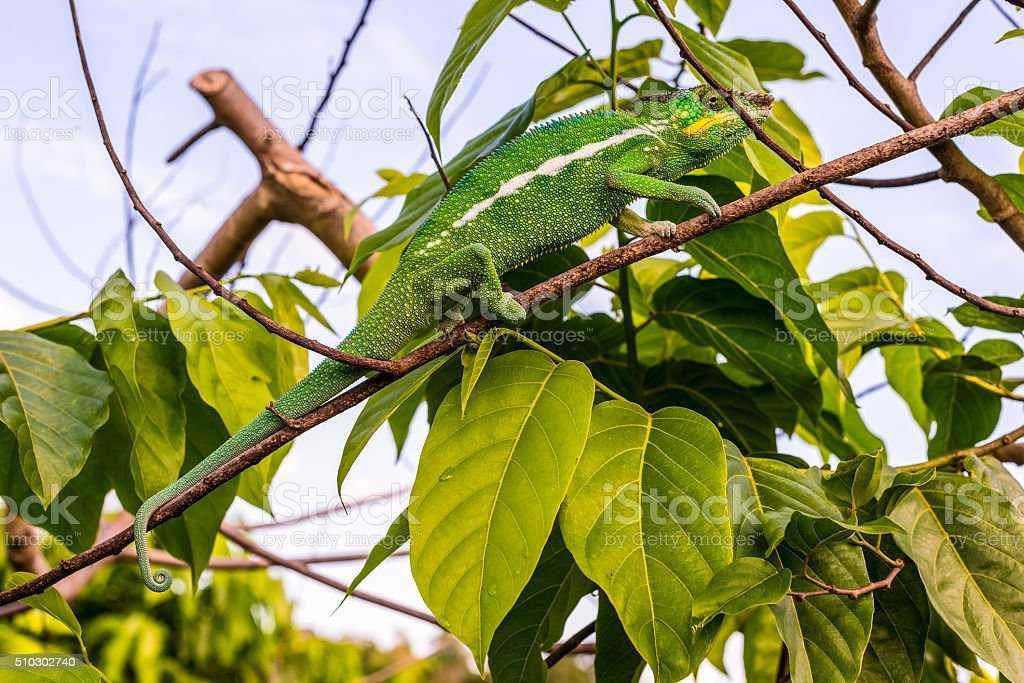 Chameleon on tree branches stock photo