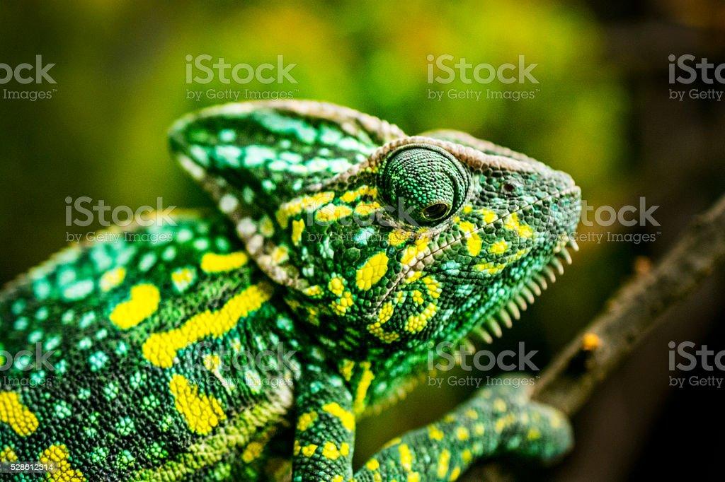Chameleon on tree royalty-free stock photo