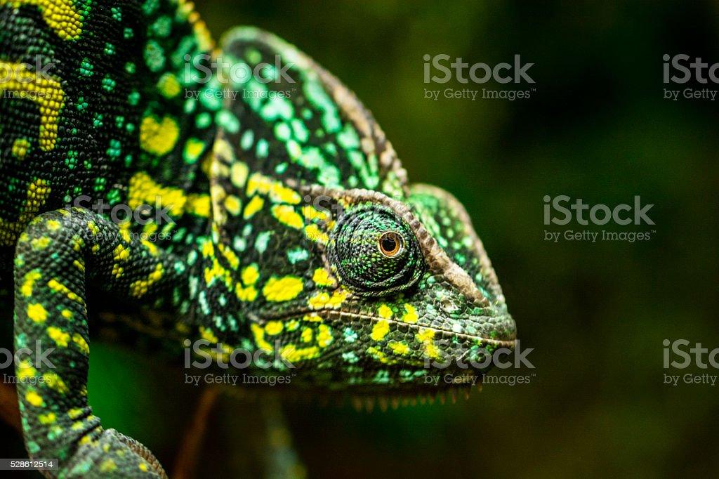 Chameleon on tree stock photo