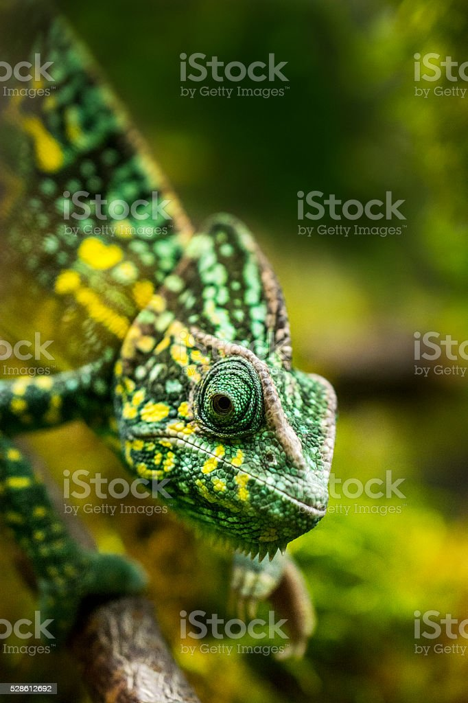 Chameleon on tree stock photo