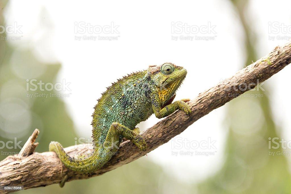 chameleon on twig in ruwenzori mountains, uganda stock photo