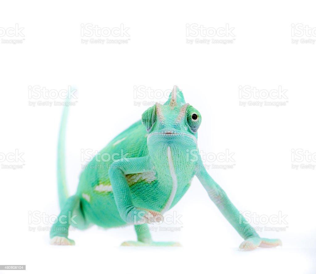 Chameleon on white background stock photo