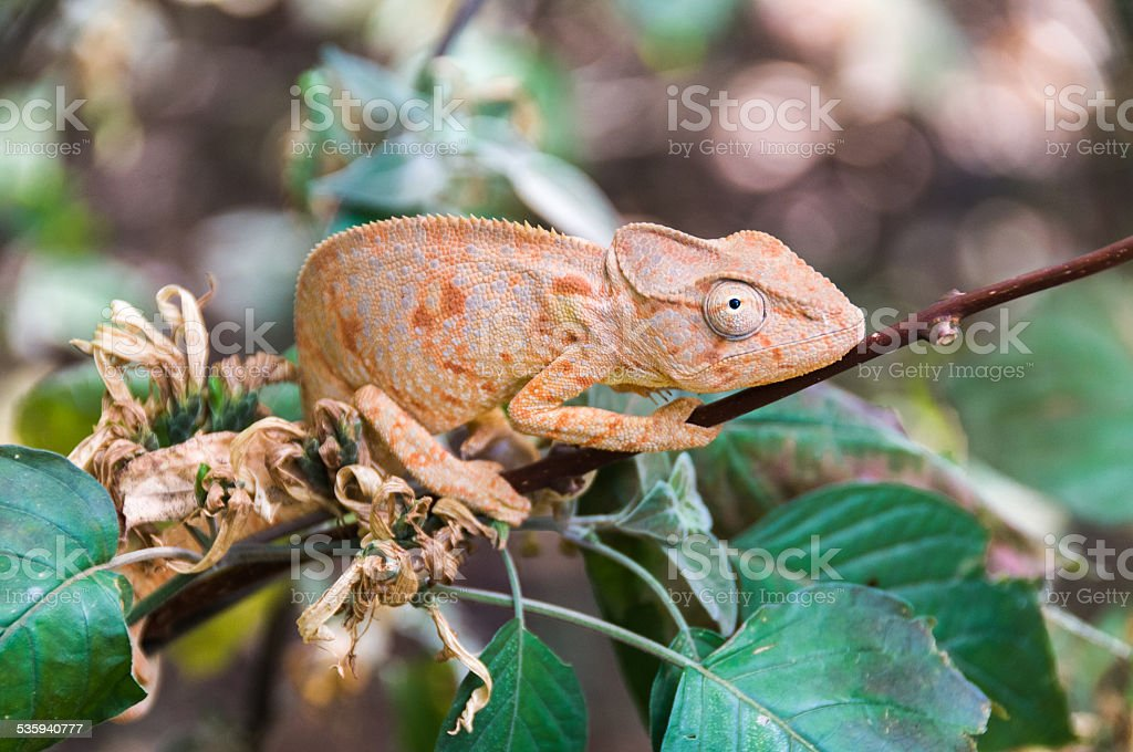 Chameleon Oustalet stock photo