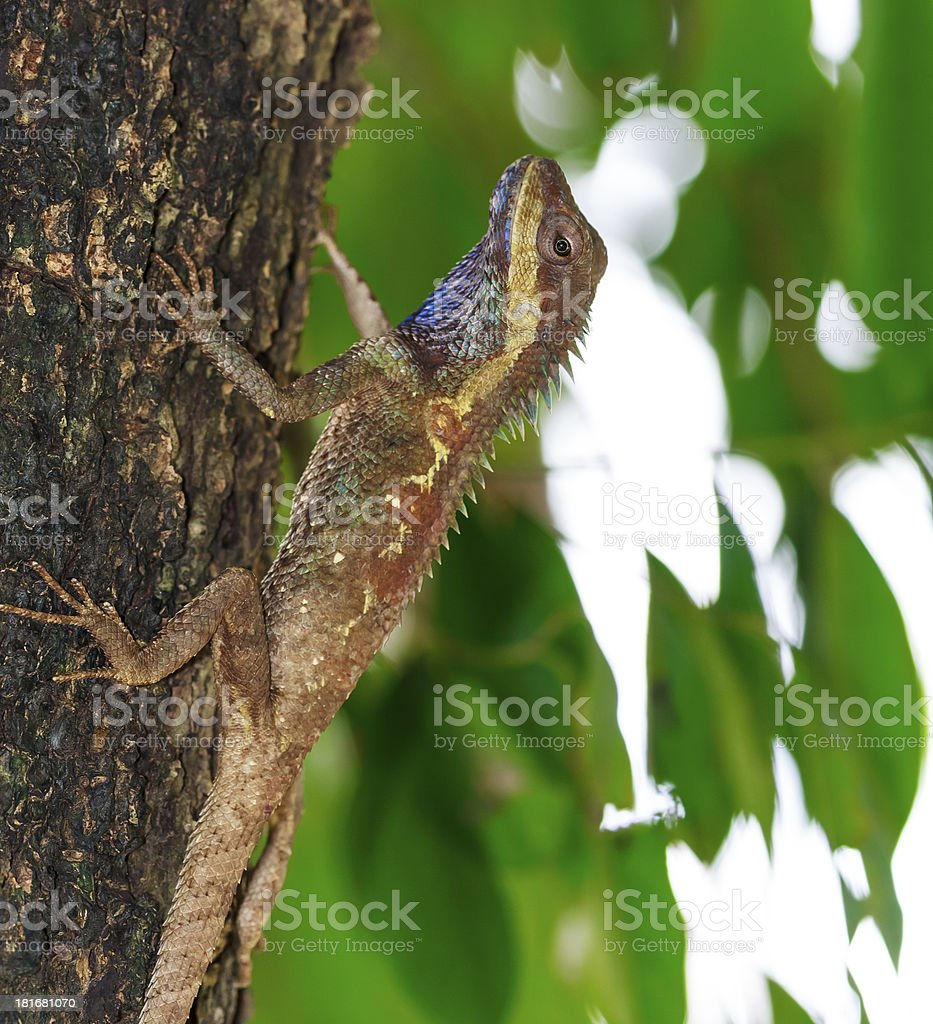 Chameleon. royalty-free stock photo