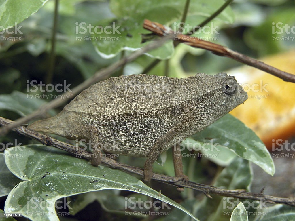 Chameleon royalty-free stock photo