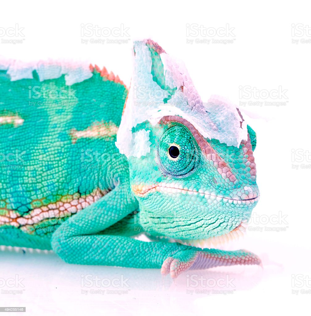 Chameleon portrait on white background stock photo