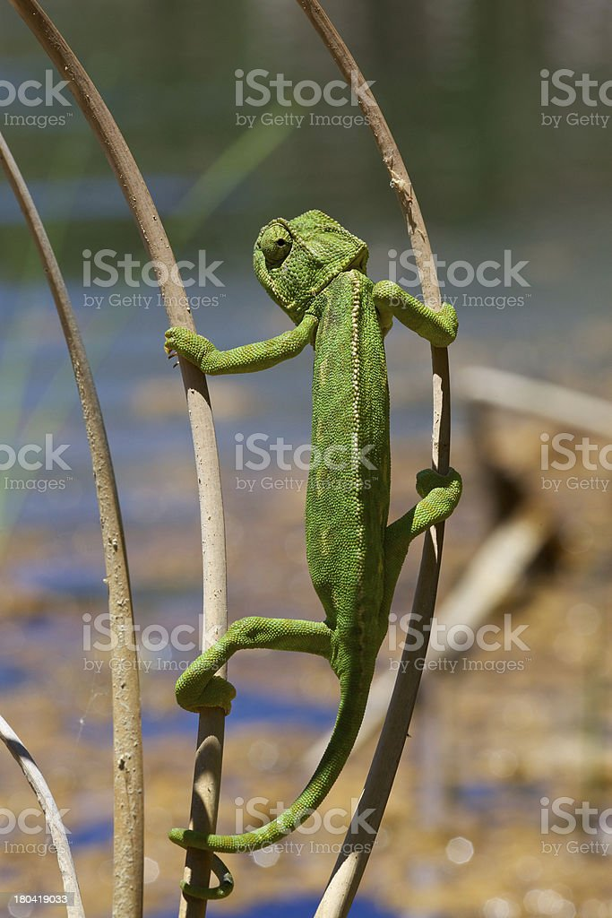 Chameleon searching for... royalty-free stock photo