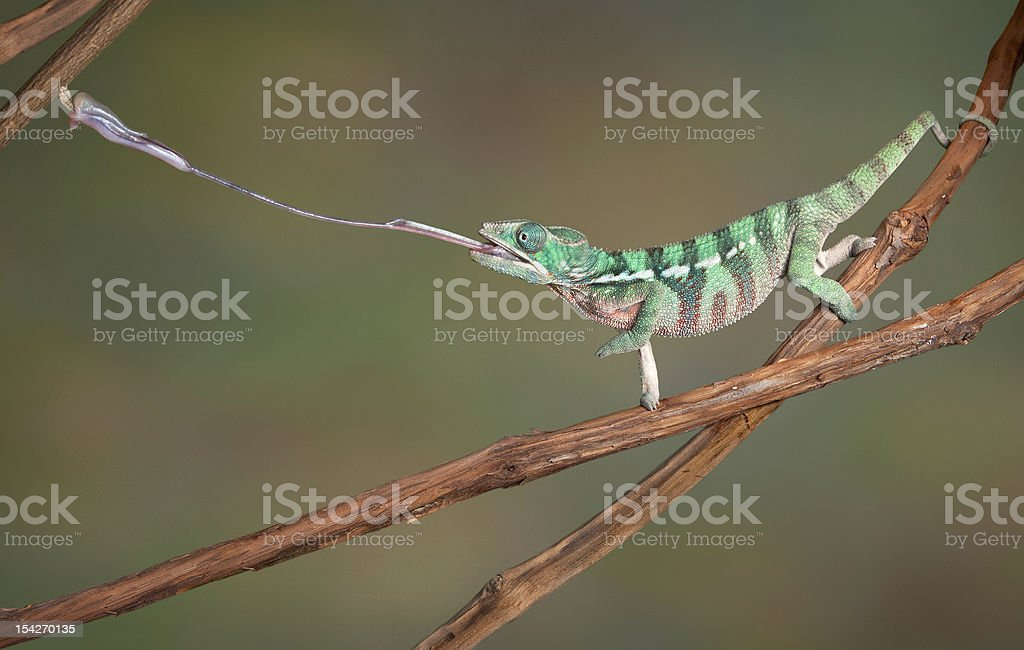 Chameleon shoots out tongue stock photo