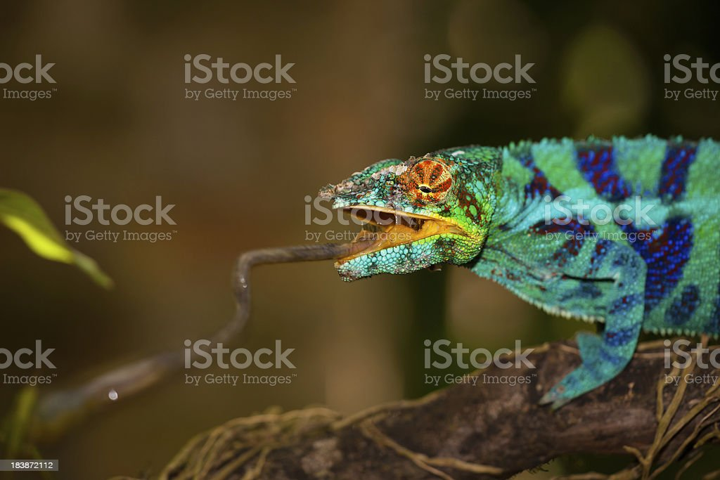 Chameleon striking snatching some food stock photo