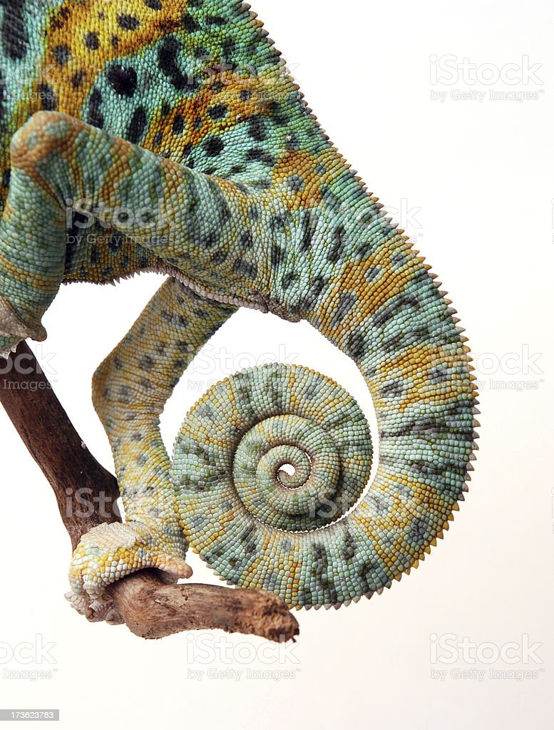 Chameleon tail and hind legs resting on a branch stock photo
