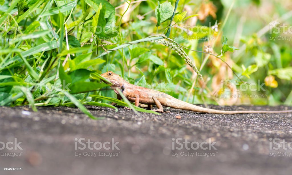 chameleon walked on the road and into the meadow. stock photo