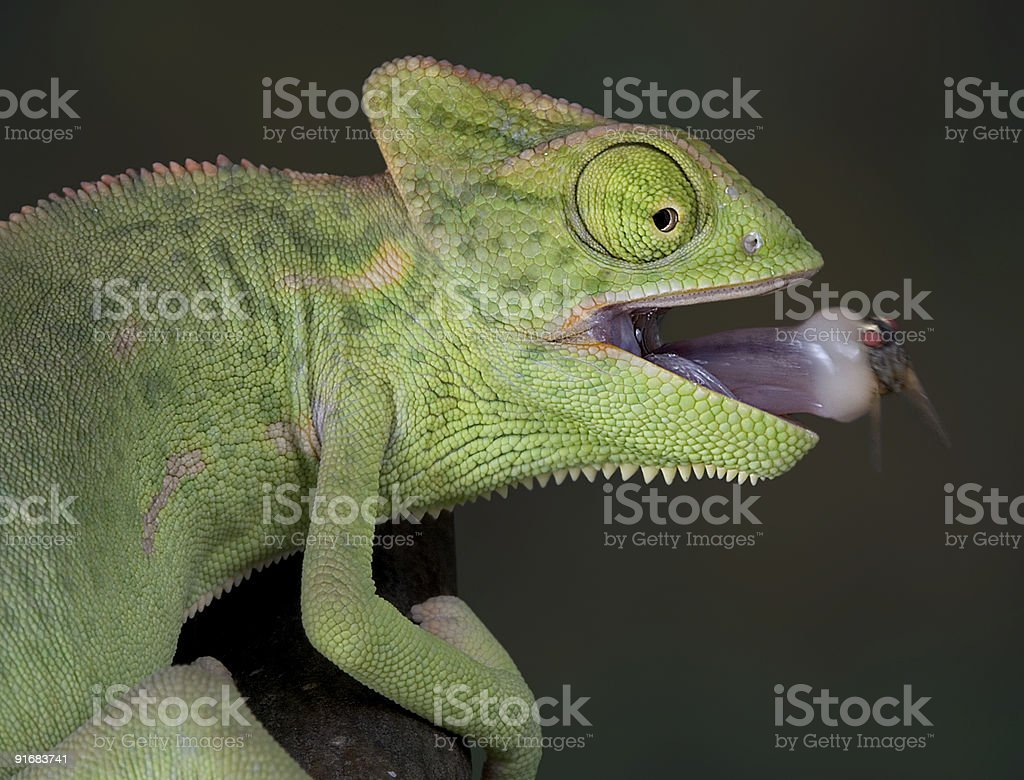 Chameleon with fly on tongue 2 stock photo