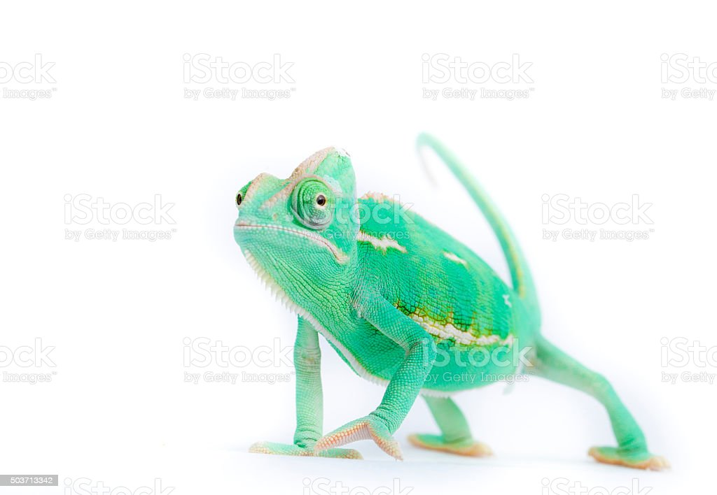 Chameleon with funny expression stock photo