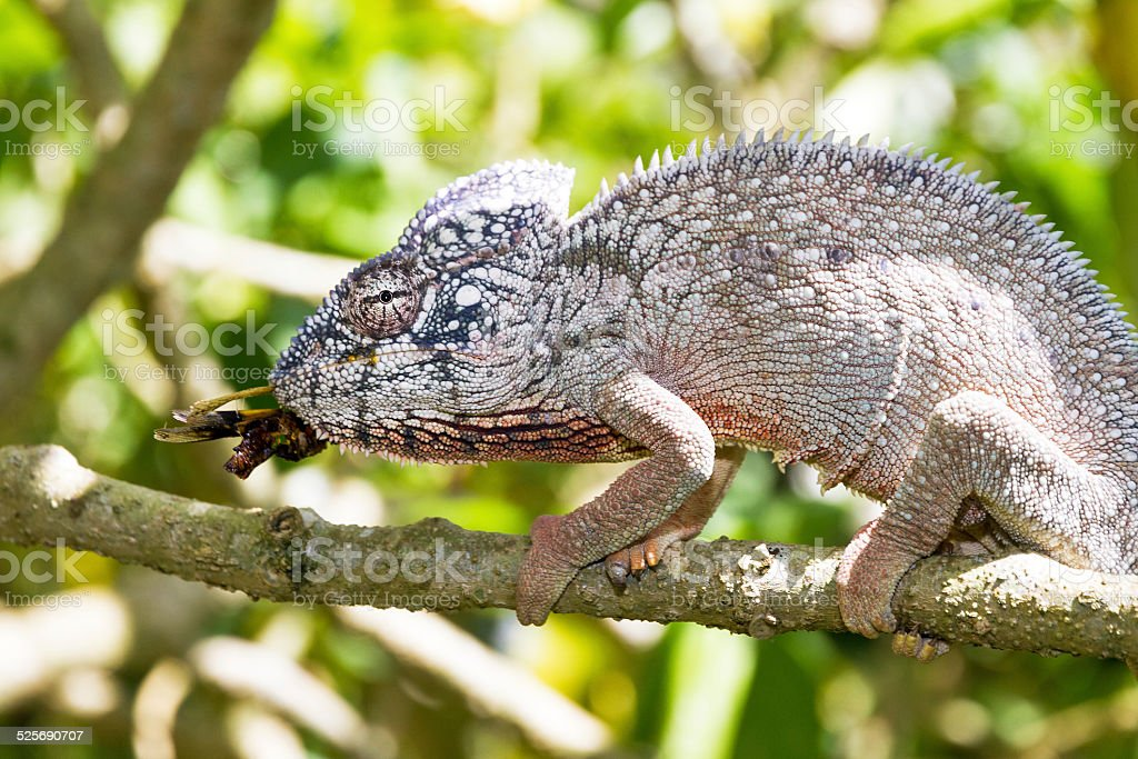 Chameleon with prey stock photo