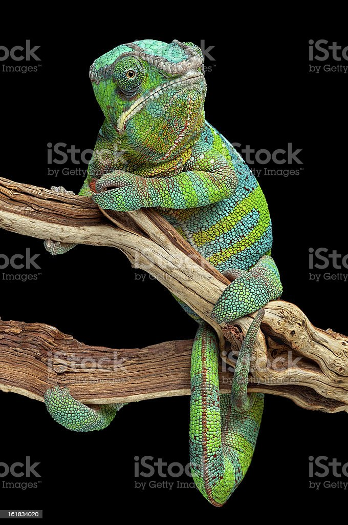 Chameleon wrapped around branch royalty-free stock photo