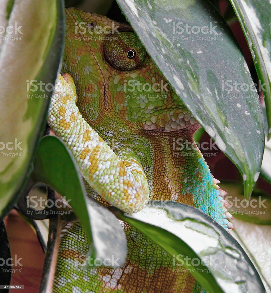 Chamelon stock photo