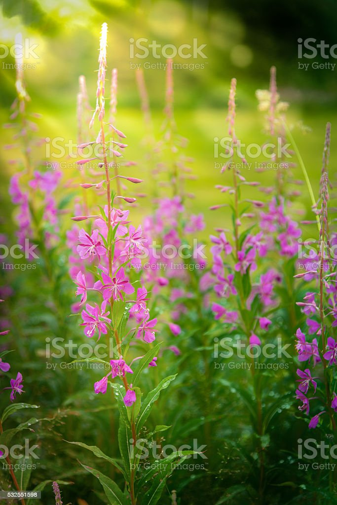 Chamerion angustifolium, also called fireweed stock photo
