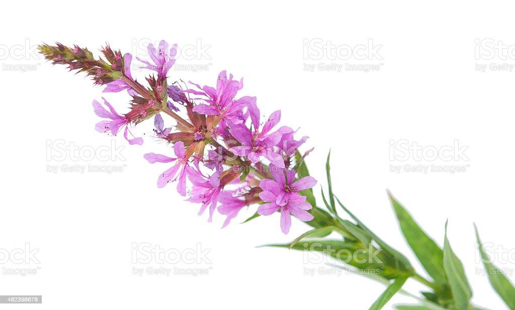 Chamerion angustifolium , blooming Sally stock photo