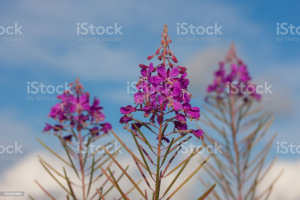 Chamerion angustifolium stock photo