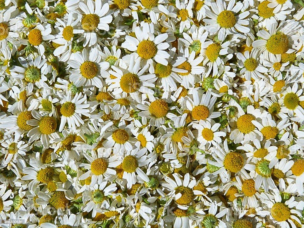 Chammomile Flowerheads stock photo