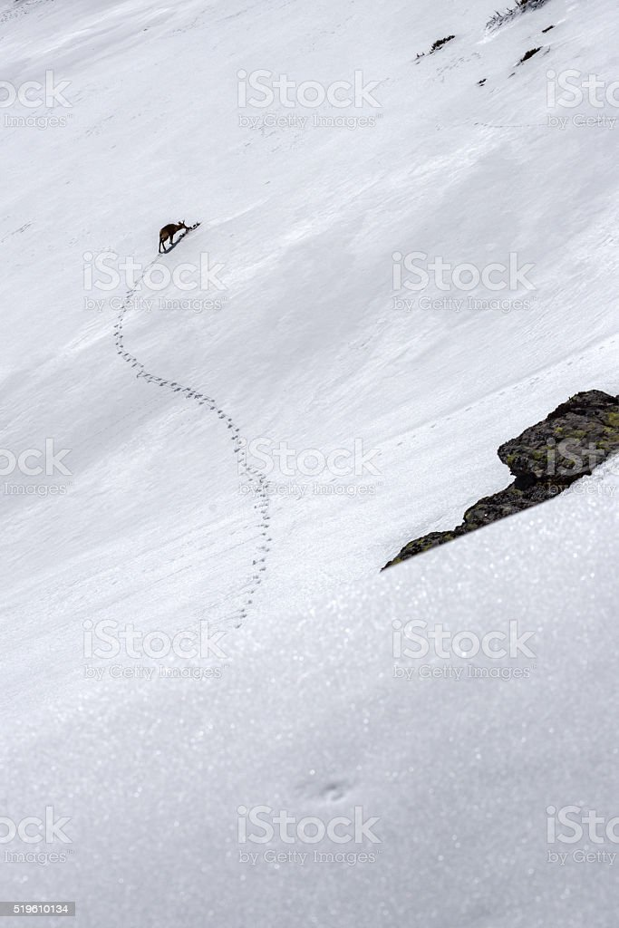 chamois and footprints in the snow stock photo