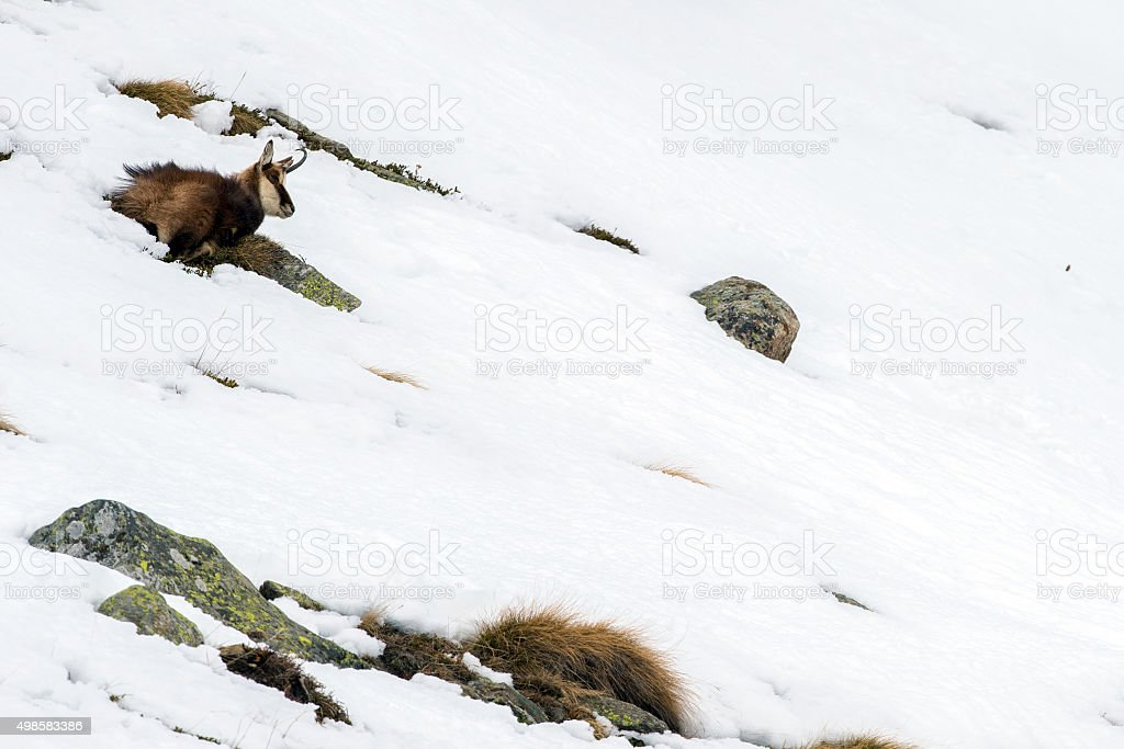 chamois deer on snow portrait stock photo
