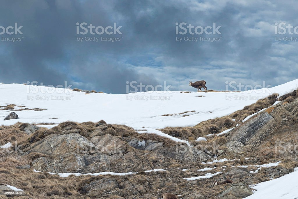 chamois deer portrait in the rocks background stock photo