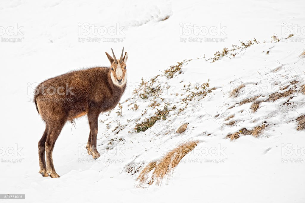 chamois deer portrait in the snow background stock photo