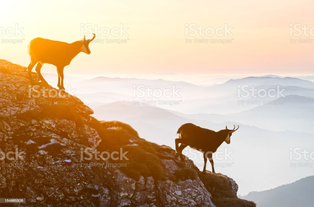 Chamois descending rocky cliffs stock photo