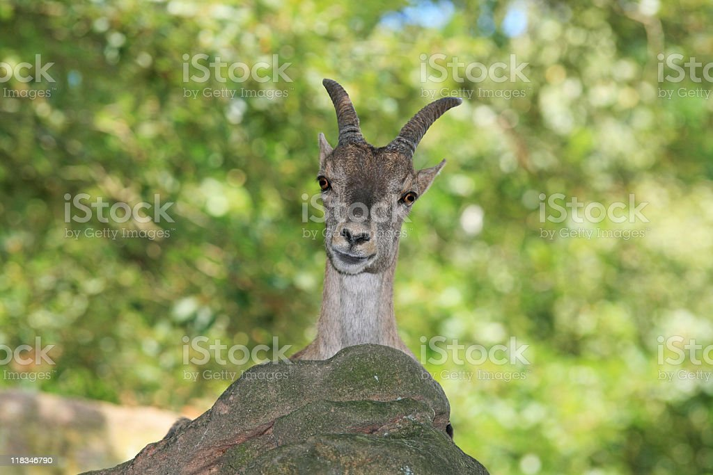 Chamois in forest stock photo
