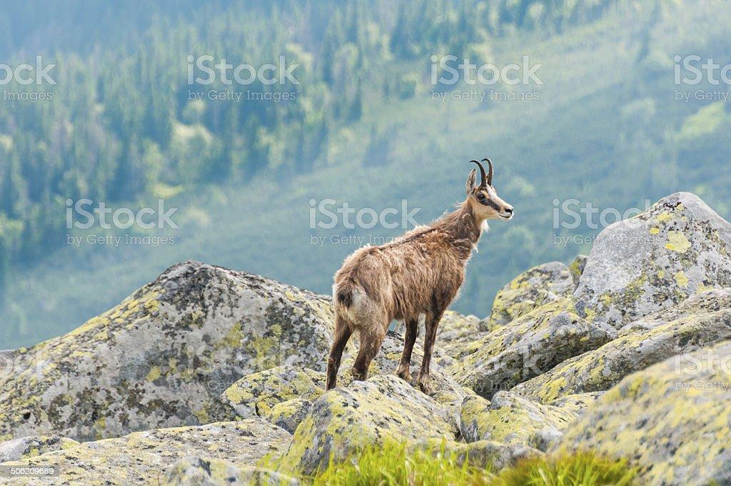 Chamois (Rupicapra Carpatica) in mountain Low Tatras, Slovakia. stock photo