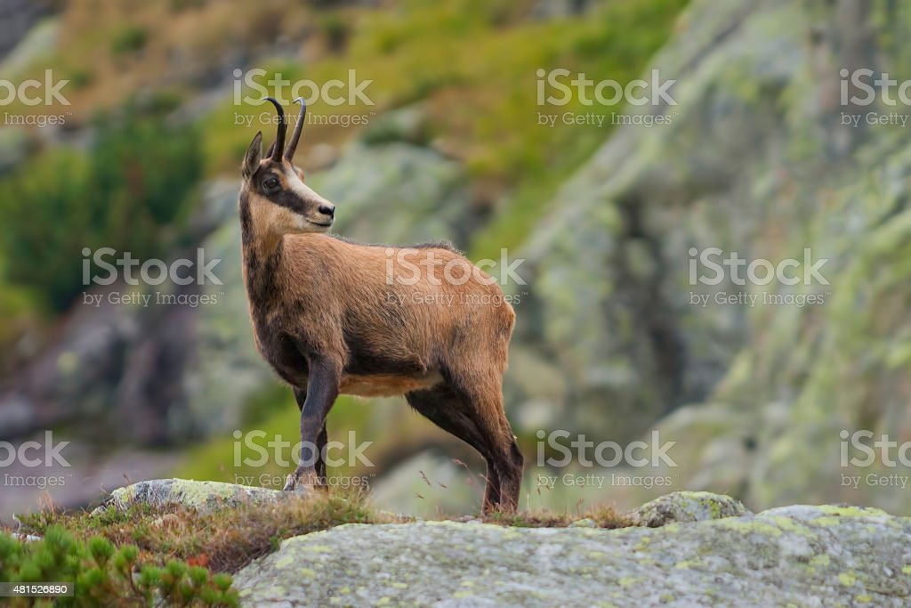 chamois in mountains stock photo