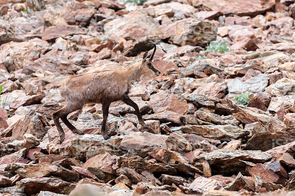 Chamois in the rocks stock photo
