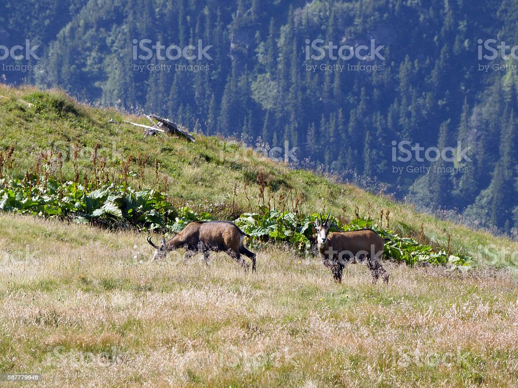 Chamois in the Slovakia, Low Tatras National Park stock photo