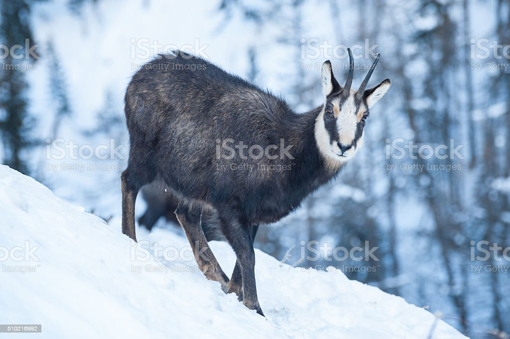 Chamois in the Winter stock photo