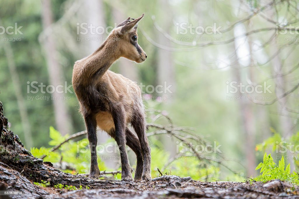 Chamois looking around stock photo