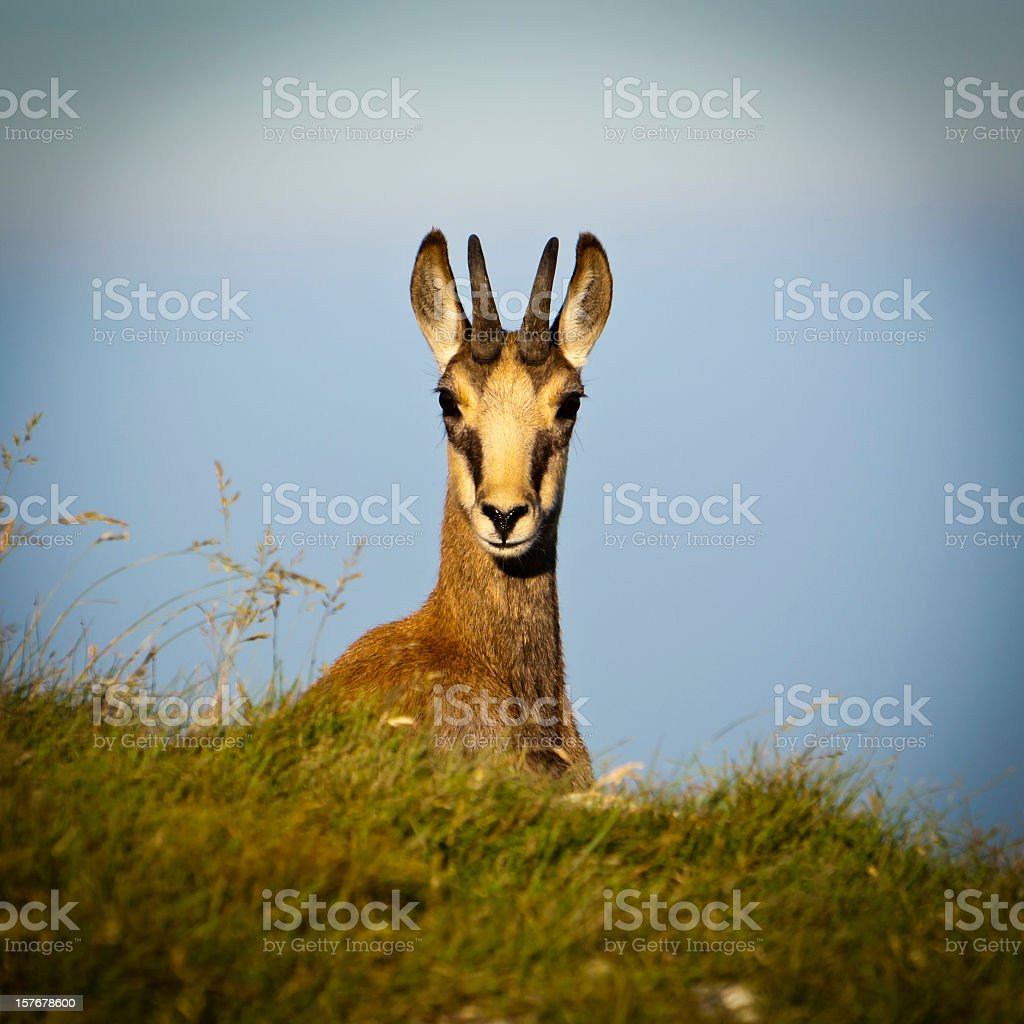 Chamois looking at camera stock photo
