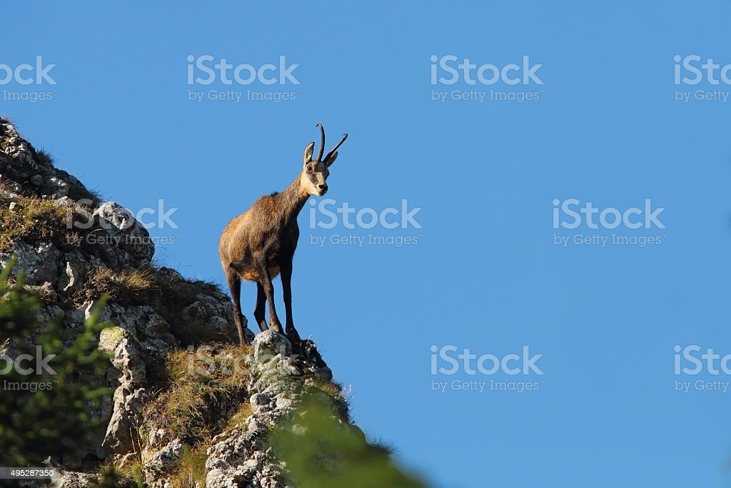 chamois on top of  mountain ridge stock photo
