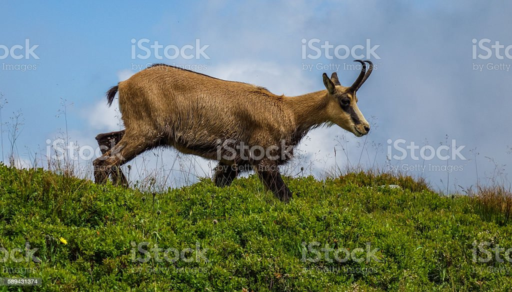 chamois stock photo