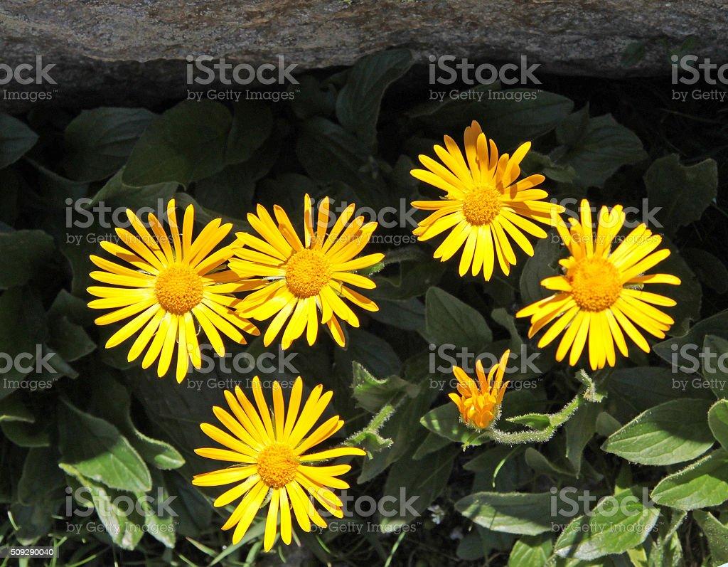 Chamois Ragwort (Senecio doronicum) stock photo