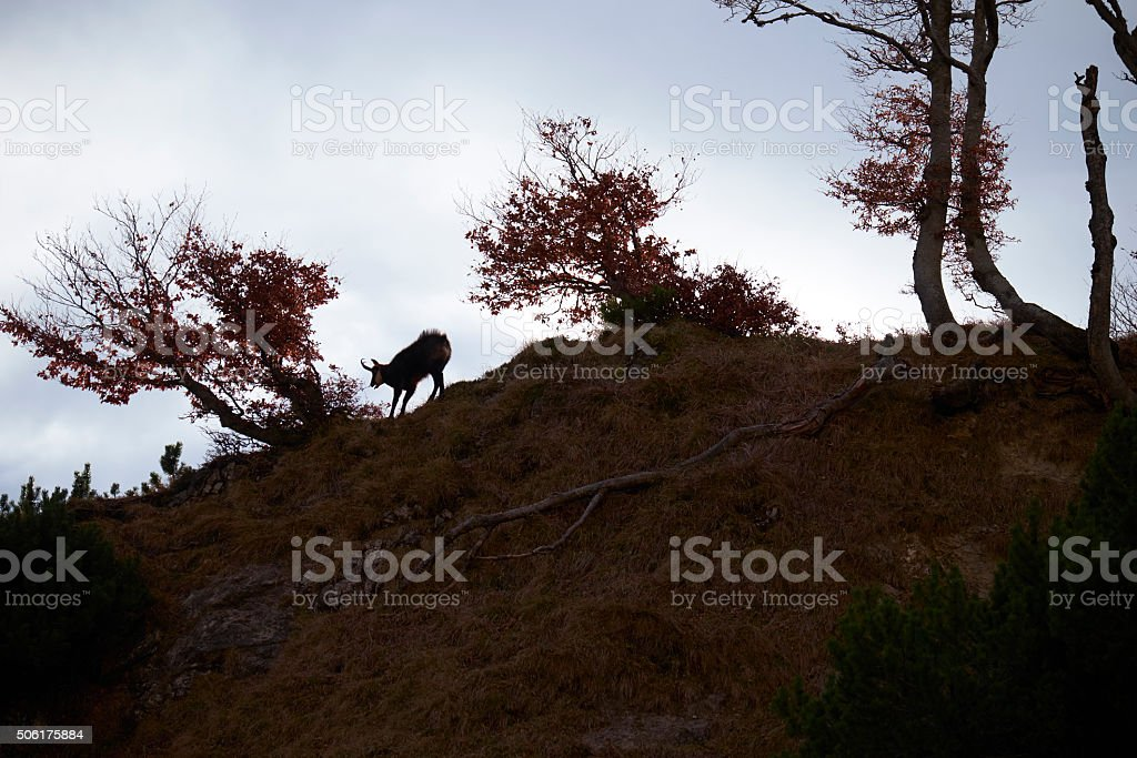 Chamois silhouette stock photo