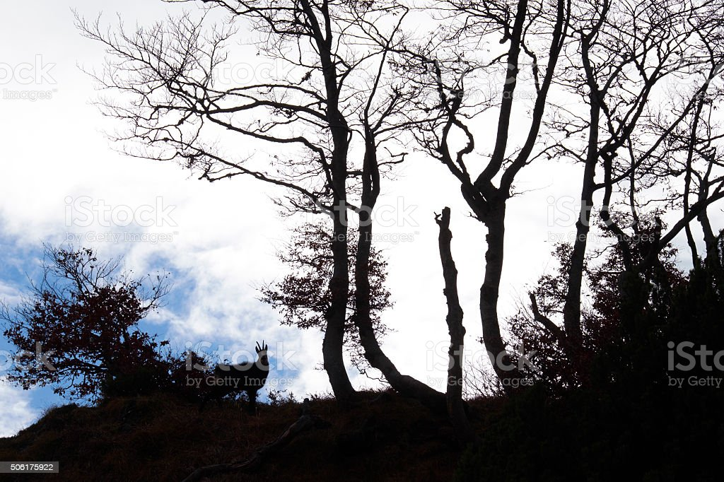 Chamois Silhouette stock photo
